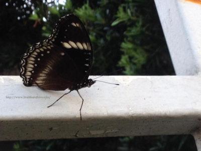 Flying Beauty;Black Butterfly