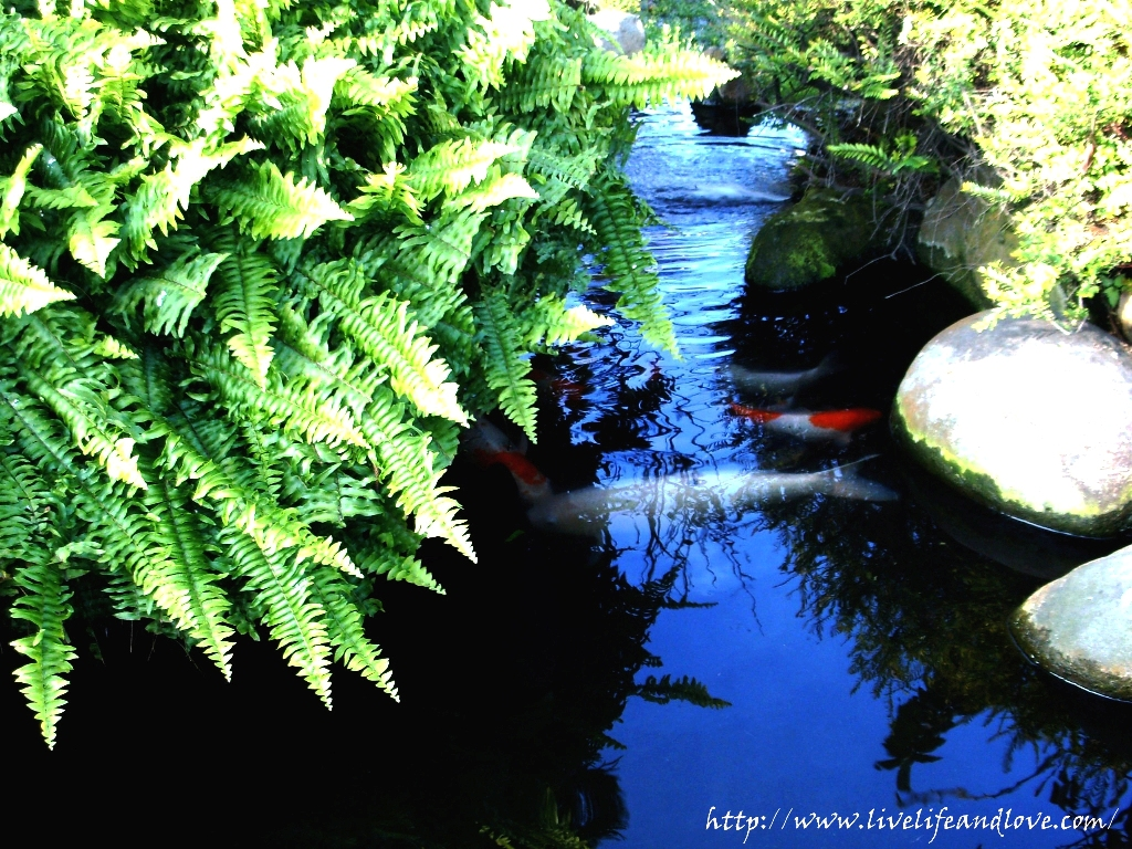 Garden fish pond live life and love for Garden pond life