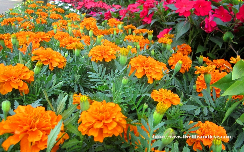 IMG_5143-copy Our Backyard Flowers