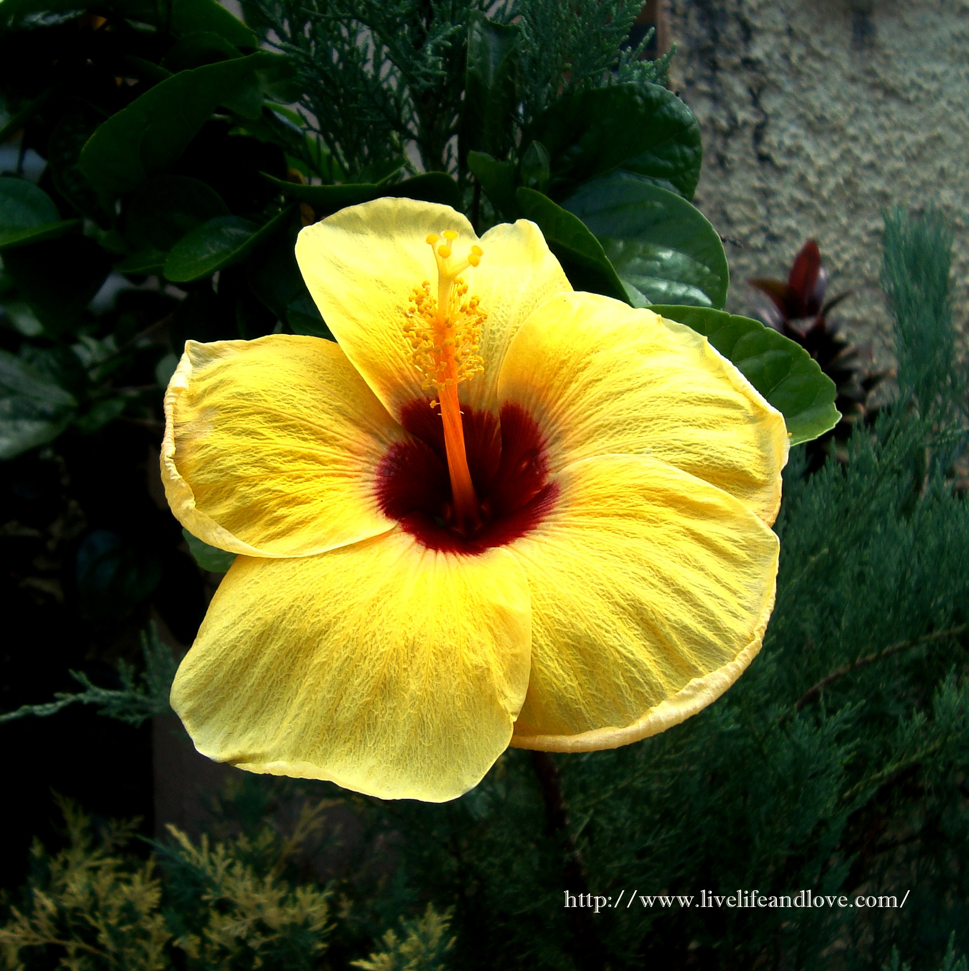 Yellow Hibiscus Flower Live Life And Love