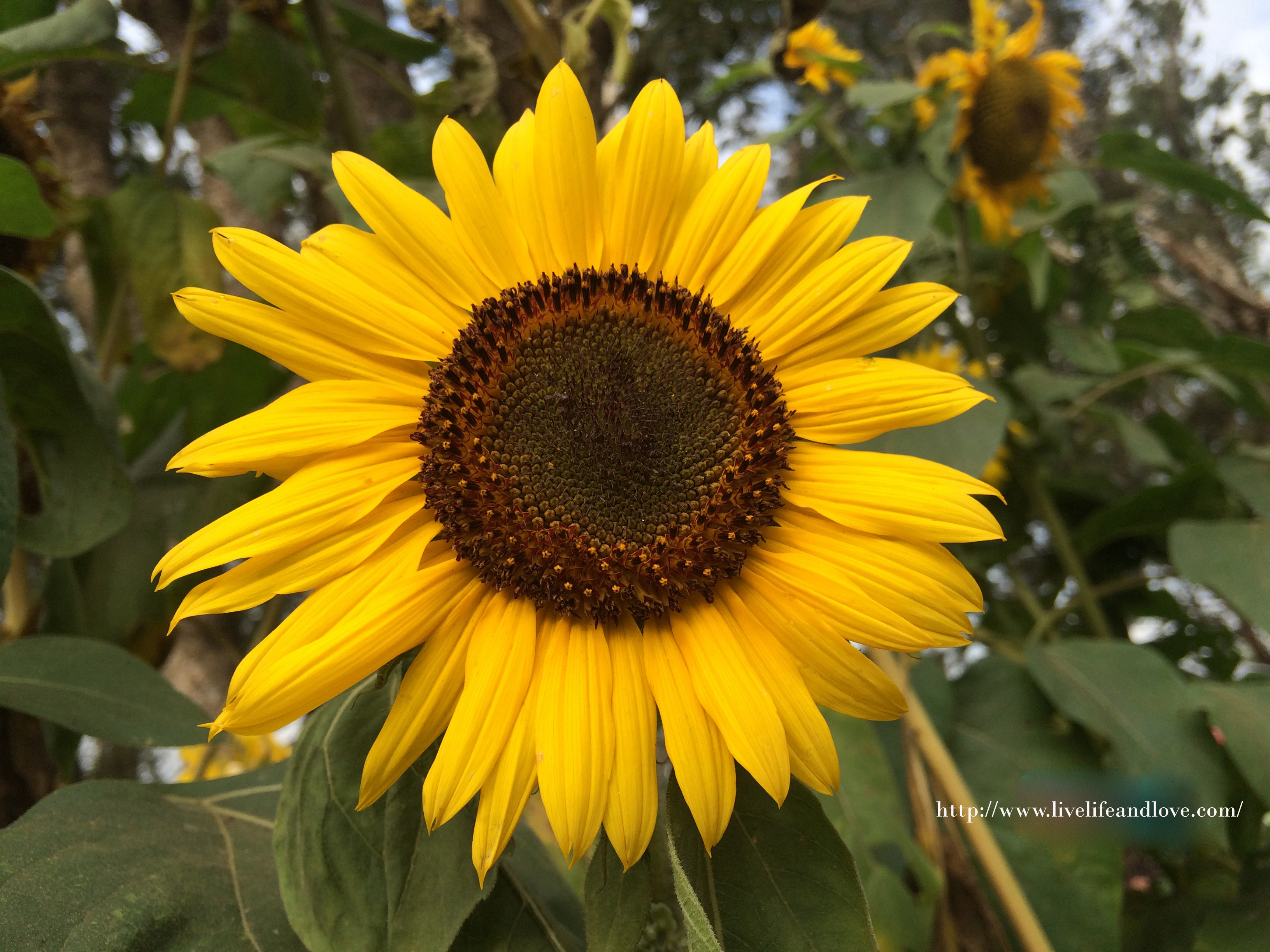 Beautiful Sunflower Garden Live Life And Love