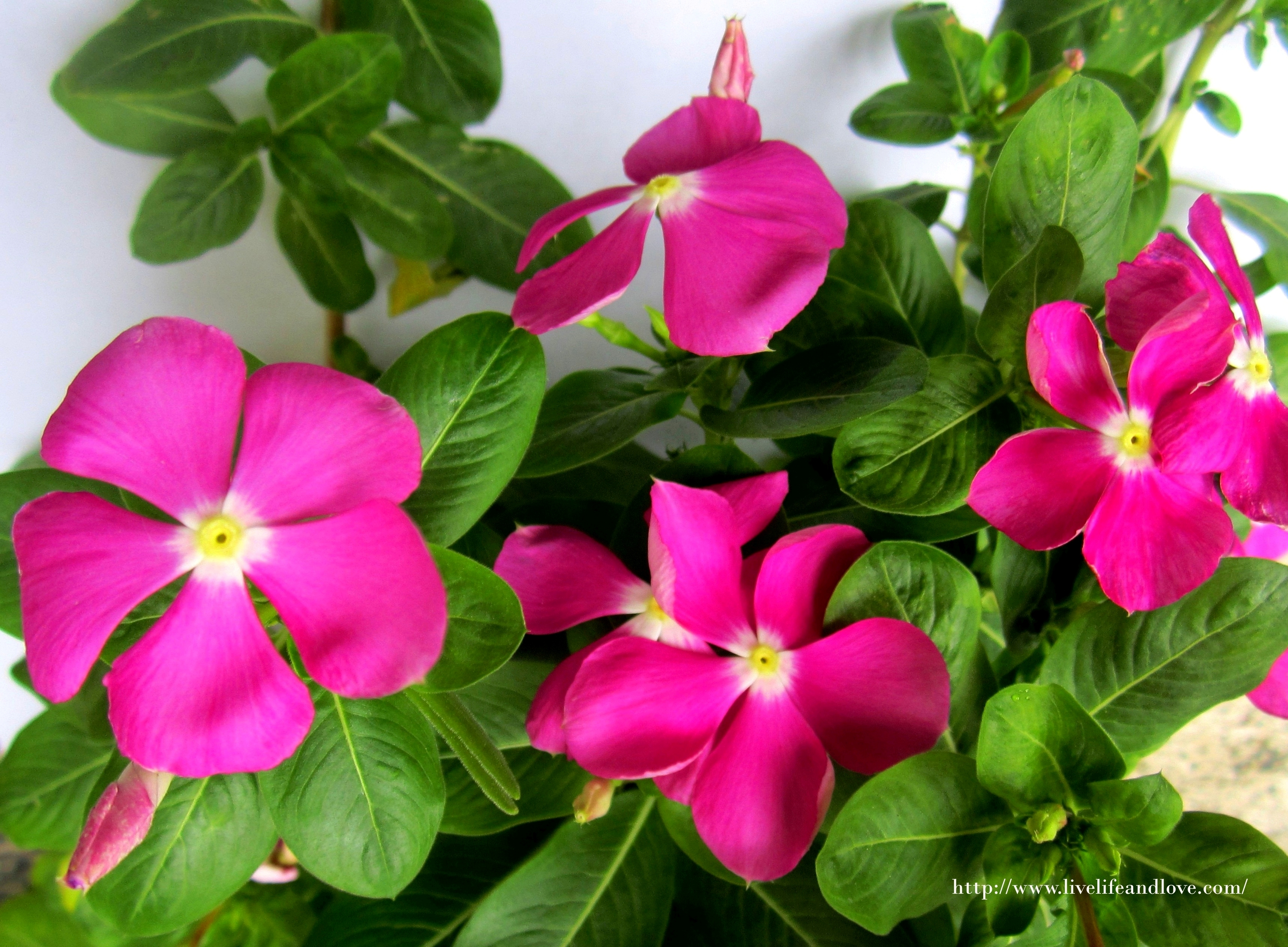 The beautry of vinca periwinkle live life and love vinca periwinkle izmirmasajfo