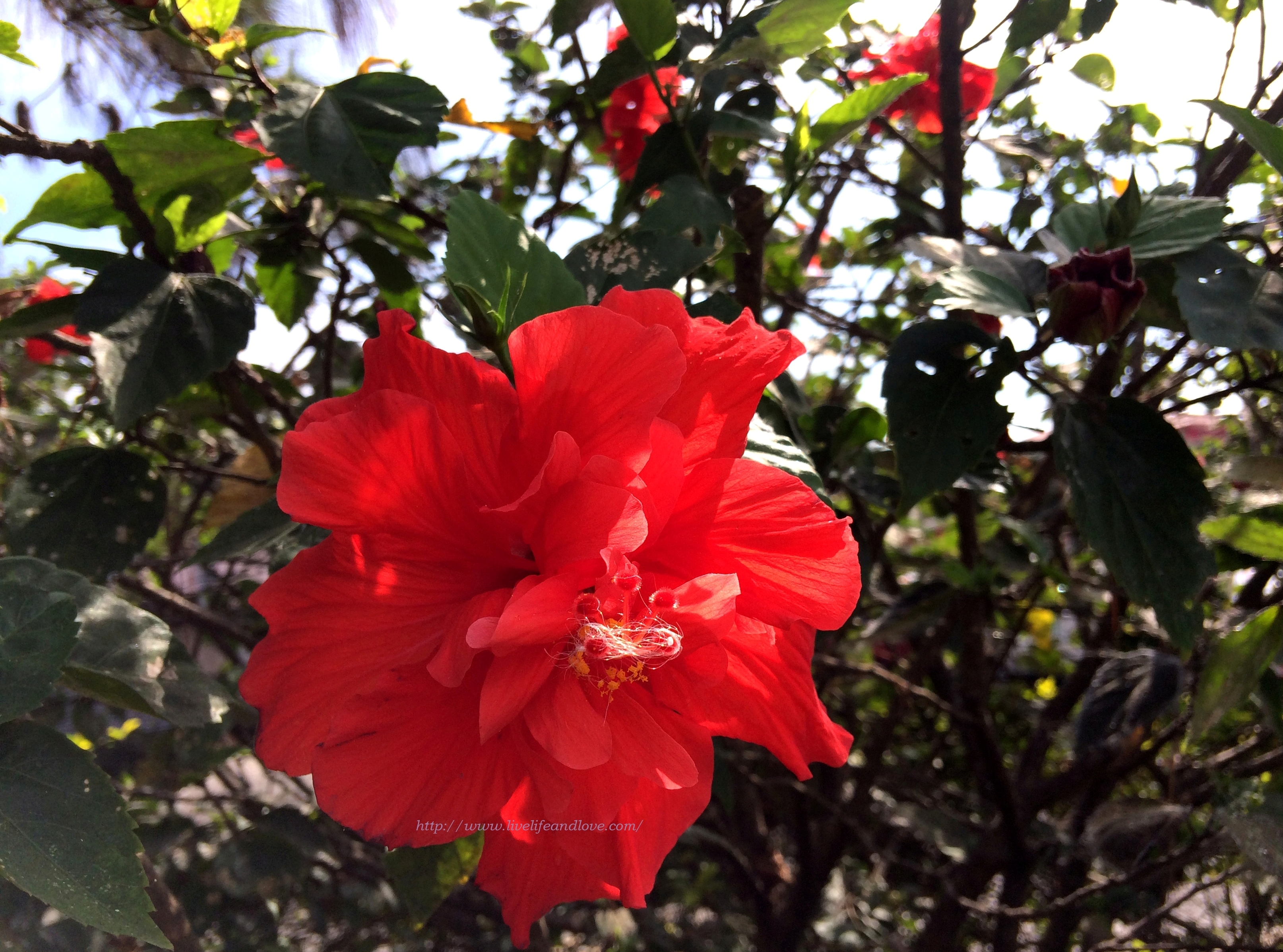 Double flowering rosa sinensis live life and love 20 best pictures of double flowering hibiscus rosa sinensis izmirmasajfo Image collections