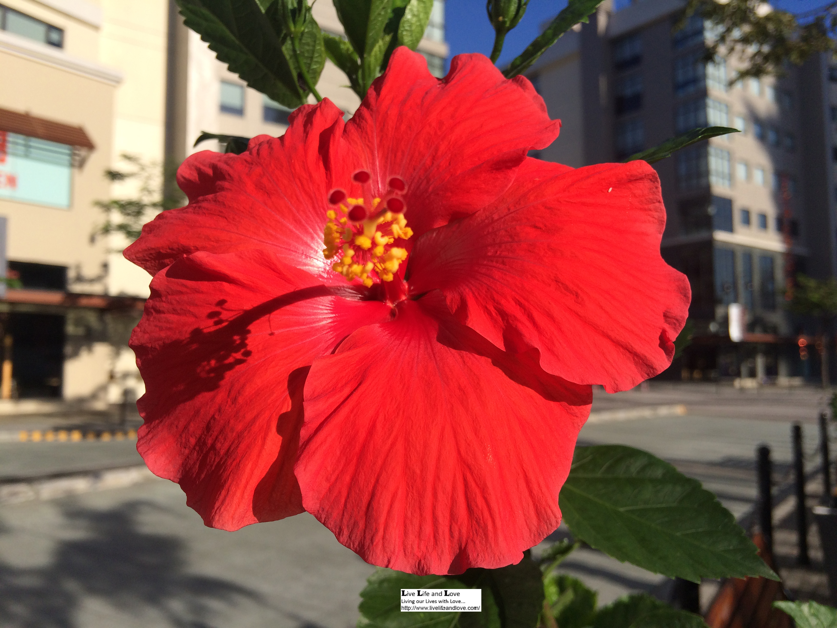 Gumamela in the philippines live life and love deep red hibiscus flower makes a stunning appeal izmirmasajfo