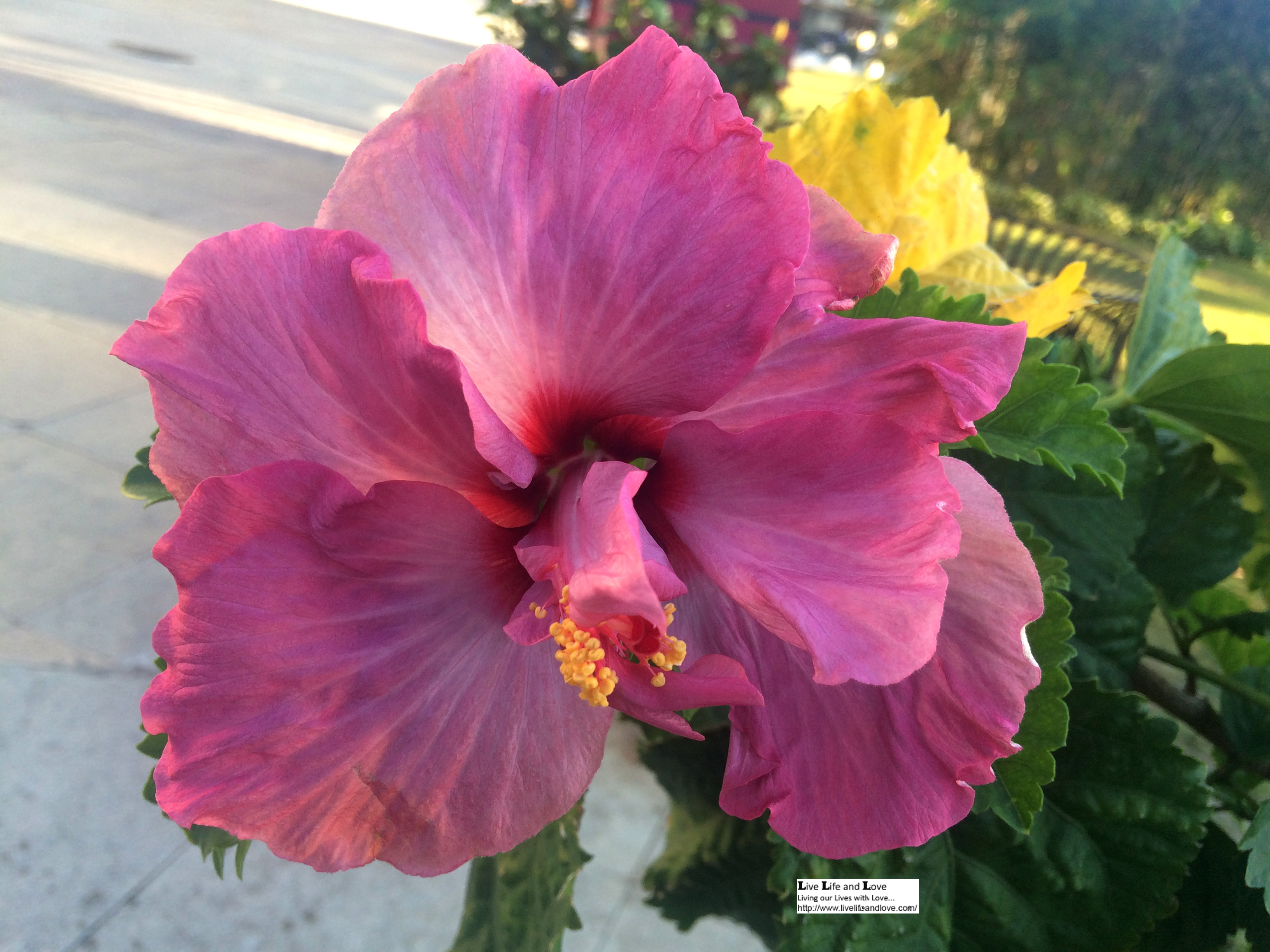 Hibiscus or rose mallow or chinese rose rosa sinensis live life light fuchsia hibiscus flower seems to be a lovely one izmirmasajfo