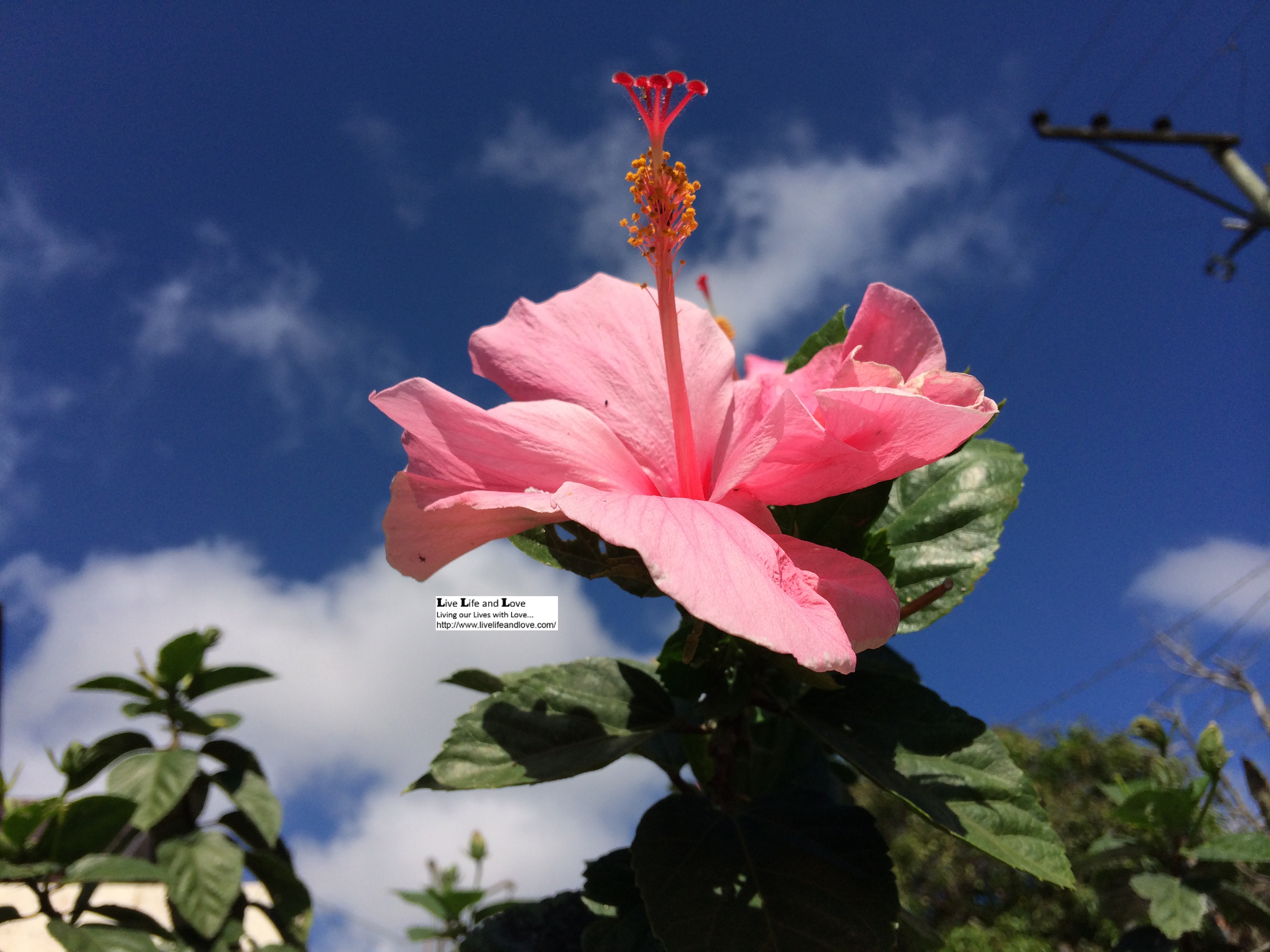 Hibiscus rosa sinensis or gumamela flower live life and love light pink hibiscus flower against the blue sky with clouds izmirmasajfo