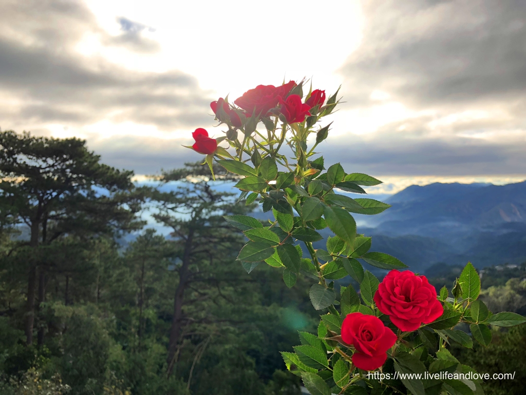 Beautiful Flowers Of Baguio Live Life And Love