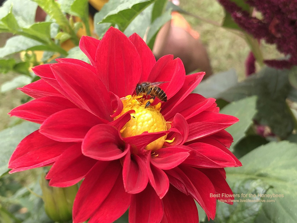 Honeybees   Live Life and Love